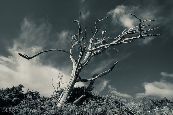 Bare rugged tree against the sky at Point Lobos in San Francisco, USA