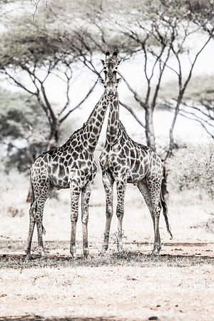 'Formal Portraits With Giraffe's' 2017: Southern Africa: Photographer: Neil Emmerson.  £975