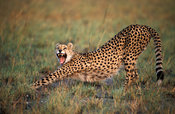 Cheetah, Acinonyx jubatus, Kafue National Park, Zambia