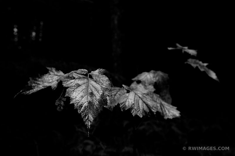 AUTUMN LEAVES OLYMPIC NATIONAL PARK WASHINGTON FALL BLACK AND WHITE