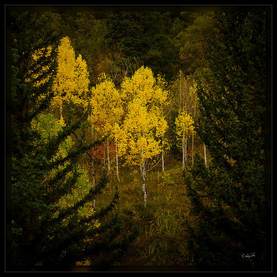 Aspens in Pines