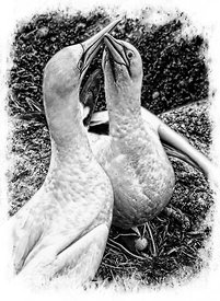 42_Gannets_clacking_beaks_sketch