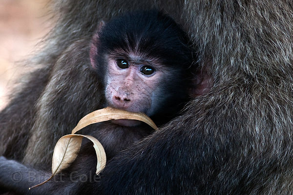 Baby baboon from the Plateau Road troop sits in its mother's arms while playing with a leaf, Cape Peninsula, South Africa