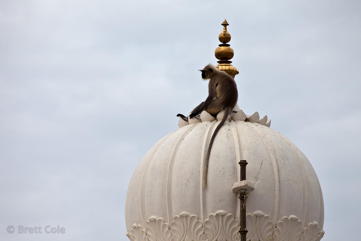Langur monkey atop a temple spire in Pushkar, Rajasthan, India
