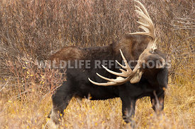 moose_itch_4