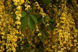 2014.05.08_Virginia_Creeper_and_Scottish_Broom-015