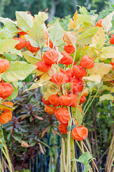 Physalis 'Halloween Queen', Amour en cage,coqueret, orange