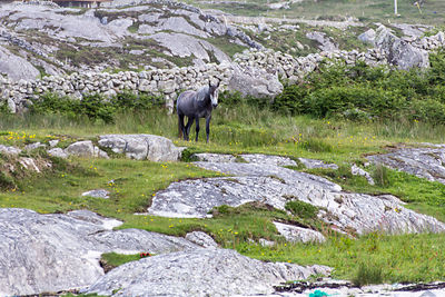 Horse in rocky pasture, Connemara, Ireland