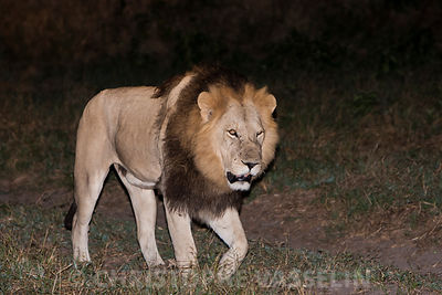 Lion by night