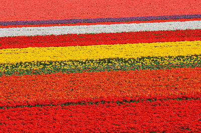 Rows of colourful cultivated tulips (Tulipa sp), the Netherlands, April 2009