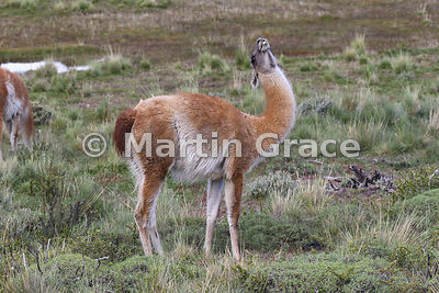 A Guanaco (Lama guanicoe) arching its neck as it tries to swallow, Torres del Paine National Park, Patagonia