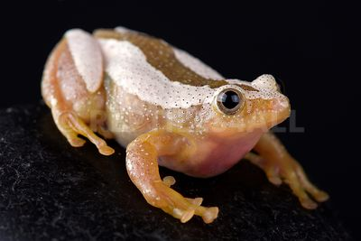 Greater leaf-folding frog (Afrixalus fornasini)