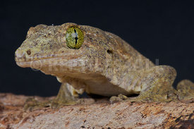 Gehyra vorax, Giant pacific gecko, Moluk islands, Indonesia