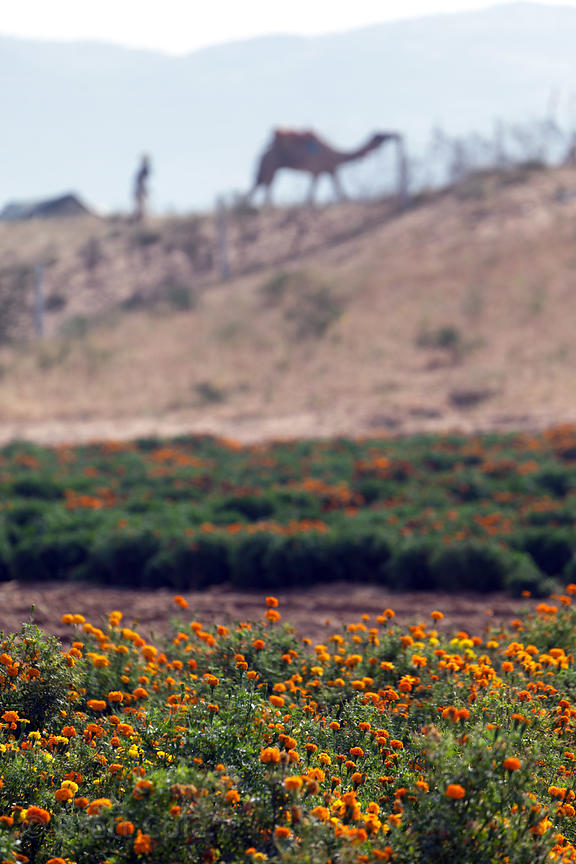 Marigolds on a flower farm in Pushkar, India. They'll  be used in garlands and religious ceremonies.