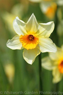 Narcissus 'C. J. Backhouse'. © Jo Whitworth
