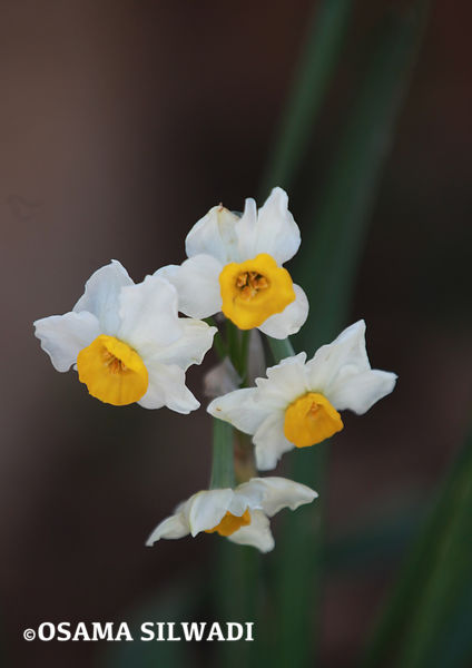 The Wildflowers of Palestine - Narcissus