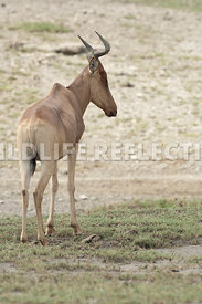 hartebeest_male_turned_away