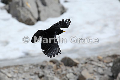 Full-frame image of Alpine or Yellow-Billed Chough (Pyrrhocorax graculus) in flight, Picos de Europa, Cantabria, Spain