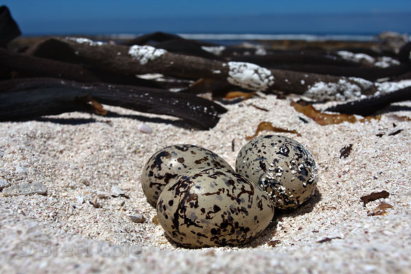 Eggs of the African black oystercatcher (Haematopus moquini), a red-listed endangered species, with only 5,000 birds in the w...
