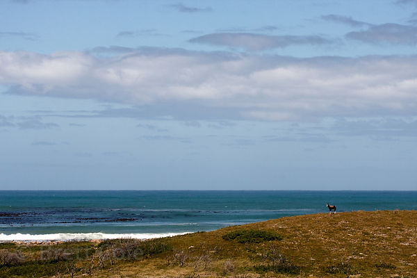 Bontebok (Damaliscus dorcas dorcas) with the Atlantic Ocean behind, Olifantsbos, Cape Peninsula, South Africa