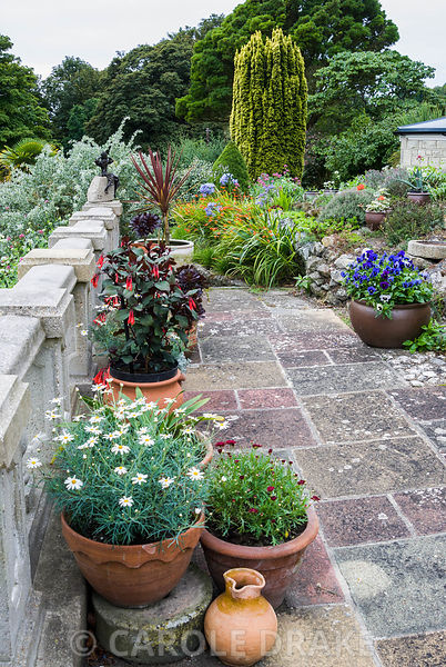 Terrace balustrade lined with pots containing succulents, Argyranthemums, fuchsias and cordylines. The Shute, nr Ventnor, Isl...