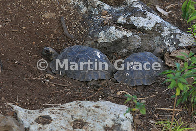Young San Cristobal Giant Tortoises (Geochelone elephantopus chatamensis) at the Galapaguena de Cerro Colorado breeding stati...
