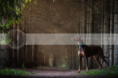 handsome doberman dog standing in pine tree forest