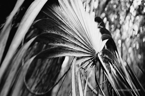 DRY PALMETTO SERENEOA REPENS LEAF IN WINTER CUMBERLAND ISLAND GEORGIA BLACK AND WHITE