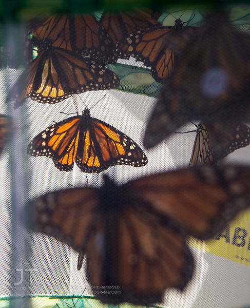 Monarch Tagging and Seminar, September 21, 2013