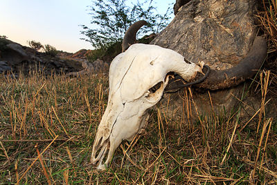A cow skull leans against a rock in the desert mountains, Ajaypal, Rajasthan, India