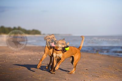 two humorous sibling dogs playing keep away with ball on beach