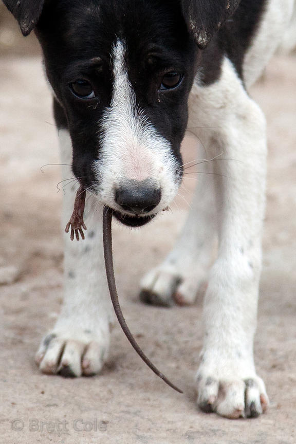 A puppy eats a live rat whole, Bundi, Rajasthan, India