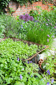 A group of containers including a wheelbarrow, a belfast sink and tin olive oil containers in the centre of the garden are planted with insect friendly plants including chives, marigolds, alliums and hardy geraniums.