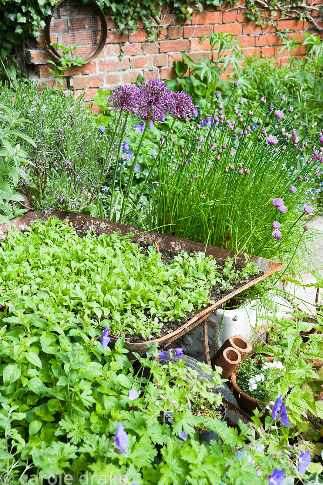 A group of containers including a wheelbarrow, a belfast sink and tin olive oil containers in the centre of the garden are pl...