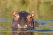 Hippopotamus (Hippopotamus amphibius) in the Shire river, Liwonde National Park, Malawi