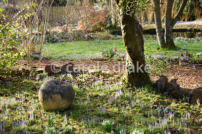 Naturalised snowdrops and Crocus tommasinianus in the wild garden at The Down House, Hampshire in winter
