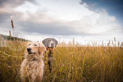 two dogs sitting in wheat under sky with clouds
