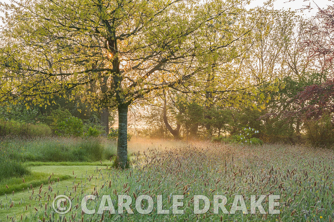 Rising sun illuminates a scarlet oak, Quercus coccinea, amongst long meadow grasses. Westbrook House, West Bradley, Somerset, UK