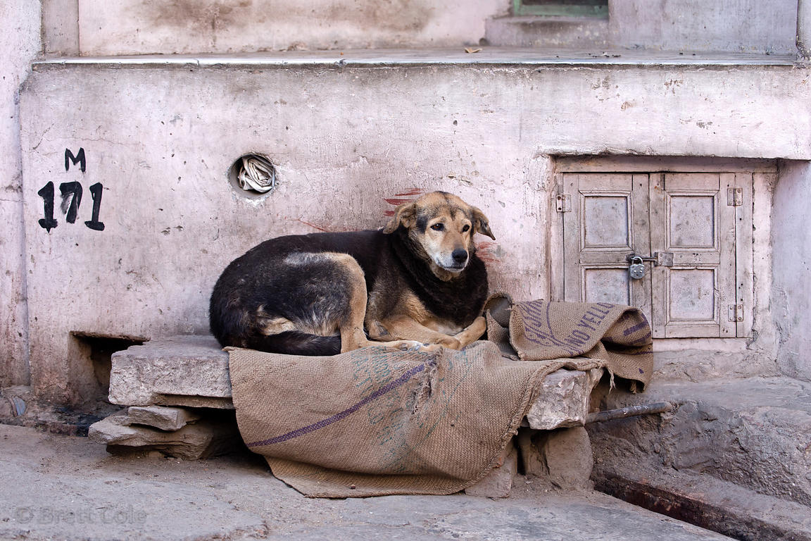 Obese street dog, fat from too many handouts from local people, Pushkar, Rajasthan, India