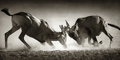 Red hartebeest fighting - b&w fine art