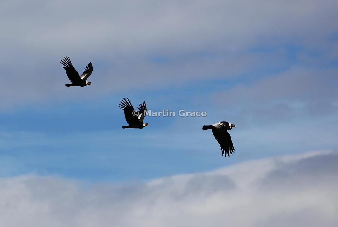 Andean Condors (Vultur gryphus) in flight, Patagonia, Chile, Patagonia, Chile