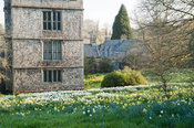 North west tower seen beyond meadow of naturalized daffodils. Cotehele, Cornwall, UK