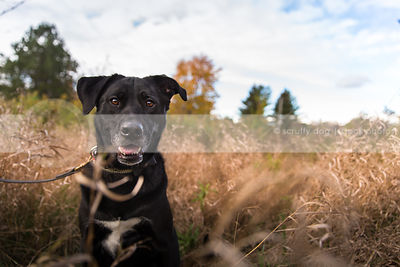 portrait of black dog sitting in field of dried grasses