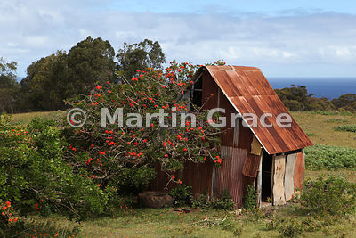 A coral tree (Erythrina sp) with a corrugated iron building, Easter Island (Rapa Nui)