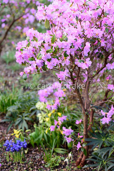 Early rhododendron flowering amongst Iris reticulata, small daffodils and Helleborus argutifolius at Hodsock Priory, Blyth, N...