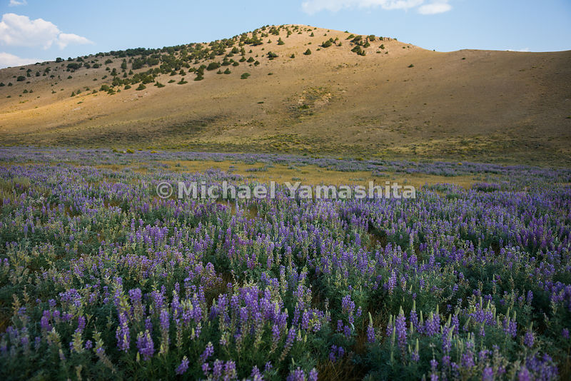 Lupine and mustard brush at Miller Butte. Grand Teton National Park, Wyoming...Jagged peaks of the Teton Range, lush meadows,...