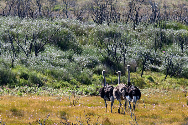 Wild Ostrich (Struthio camelus), Olifantsbos, Cape Peninsula, South Africa