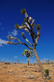 Arbre de Josué Joshua Tree Park Californie USA 10/12