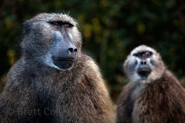 Two chacma baboons from the Plateau Road gesture, Cape Peninsula, South Africa