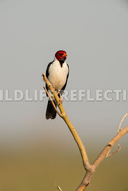 yellow_billed_cardinal_pantanal-11